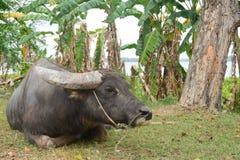 Buffalo d'eau noir asiatique avec le champ près de la piscine d'eau photographie stock