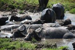 Buffalo d'eau Wallowing dans la boue photo stock