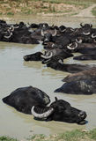 Buffalo d'eau Wallowing dans la boue, Hongrie images libres de droits