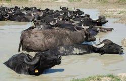 Buffalo d'eau Wallowing dans la boue, Hongrie photo libre de droits