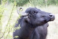 Buffalo in a dairy farm Stock Photography
