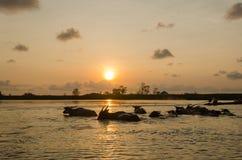 Buffalo dans l'eau Images libres de droits