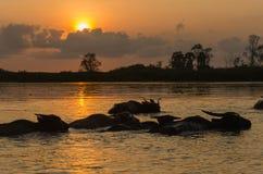 Buffalo dans l'eau Photographie stock