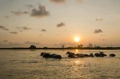 Buffalo dans l'eau Photographie stock libre de droits