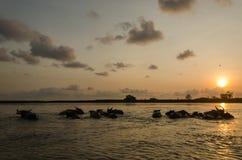Buffalo dans l'eau Photo libre de droits