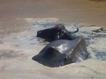 Buffalo dans l'eau sale Image libre de droits