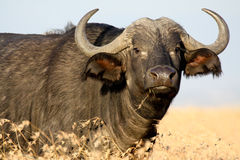 Buffalo dans l'herbe jaune Image stock