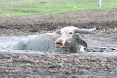 Buffalo dans la boue Image libre de droits