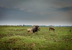 Buffalo dans la forêt tropicale tropicale de parc national de Khao yai Image stock