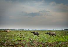 Buffalo dans la forêt tropicale tropicale de parc national de Khao yai Image libre de droits