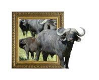 Buffalo dans le cadre avec l'effet 3d Images libres de droits