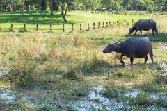Buffalo dans le domaine d'herbe photos stock
