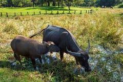 Buffalo dans le domaine d'herbe image stock