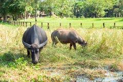 Buffalo dans le domaine d'herbe photo libre de droits