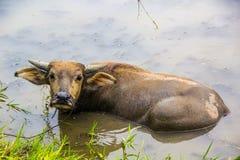Buffalo dans le lac Photographie stock libre de droits