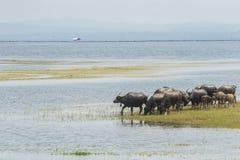 Buffalo dans le lac, Thaïlande Image stock