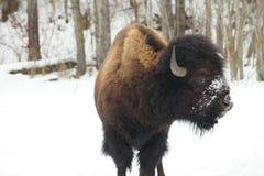 Buffalo dans le sauvage Photo stock