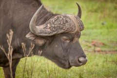 Buffalo dans le sauvage en Kwa Zulu Natal Photos stock