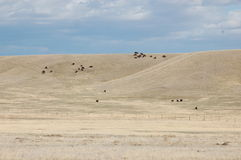 Buffalo dans les collines du Wyoming Photographie stock libre de droits