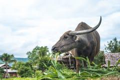 Buffalo dans un domaine, Thaïlande Image libre de droits