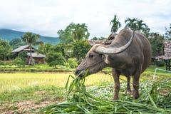 Buffalo dans un domaine, Thaïlande Image stock