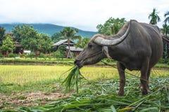Buffalo dans un domaine, Thaïlande Photos stock