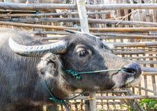 Buffalo dans une ferme en Thaïlande Photo stock