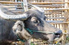 Buffalo dans une ferme Thaïlande Images libres de droits