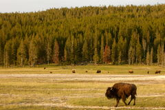 Buffalo dans Yellowstone Photographie stock libre de droits