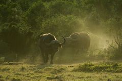 Buffalo Dawn. Two huge Buffalo Bulls come into the open after a night in the forest Royalty Free Stock Images