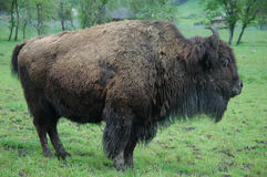 Buffalo de Bull Photographie stock