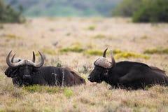 Buffalo de cap (caffer de Syncerus) Image libre de droits