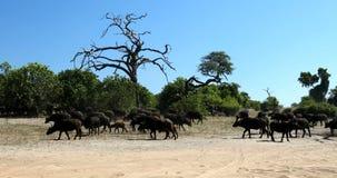 Buffalo de cap chez Chobe, faune de safari du Botswana banque de vidéos