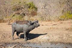 Buffalo de cap couvert dans la boue Photo stock