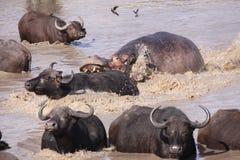 Buffalo de cap de attaque d'hippopotame dans l'eau Image libre de droits