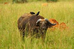 Buffalo de cap se cachant dans l'herbe Photo stock