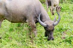 Buffalo de l'Asie sur The Field Photos libres de droits
