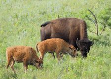 Buffalo de mère et son pâturage de deux veaux Image stock