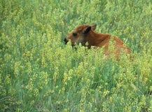 Buffalo del bambino (bisonte americano) Fotografia Stock