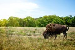 Buffalo del bisonte che pasce Fotografia Stock