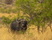 Buffalo del capo nel cespuglio africano fotografia stock libera da diritti