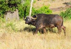 Buffalo del capo. Parco nazionale di Kruger, Sudafrica. fotografie stock