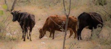 Buffalo del Tibet Fotografia Stock