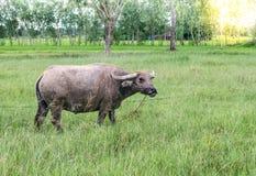 Buffalo dell'agricoltore in un Thailan Fotografia Stock Libera da Diritti