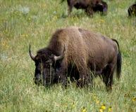 Buffalo della prateria Immagini Stock Libere da Diritti