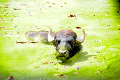 Buffalo di acqua Fotografia Stock