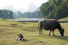 Buffalo di acqua in Cina fotografia stock libera da diritti