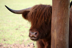 Buffalo di Brown in ZOO Fotografie Stock