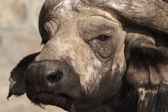 Buffalo di capo Fotografia Stock