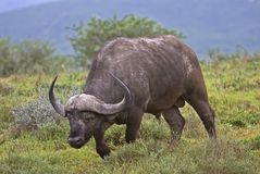 Buffalo di Domkrag immagini stock